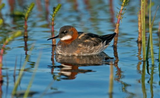 Female Red-necked Phalarope are more brightly coloured and do little of the care of their offspring. Photo: Steve Young (www.birdsonfilm.com)