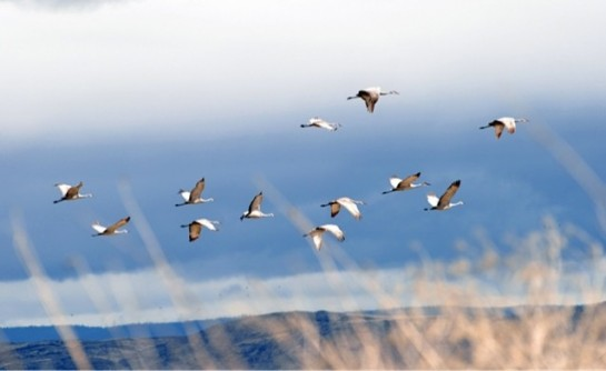 Sandhill cranes are one of the most iconic migratory shorebirds that rest in the Central Valley. CREDIT: AP Images