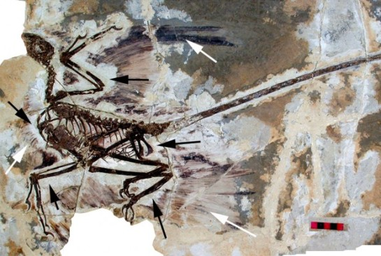 Image Caption: Skeleton of the paravian dinosaur Microraptor, from the Early Cretaceous (125 million years ago) of NE China. This dinosaur was experimenting with flight, but its unique kind of flight – gliding using all four feathered limbs – did not lead to anything. Credit: Institute of Vertebrate Paleontology & Paleoanthropology (IVPP), Beijing / Wikipedia (CC BY 2.5) Read more at http://www.redorbit.com/news/science/1113078238/evolution-and-origin-of-birds-022414/#HJpiTZuJgWkhHgxl.99