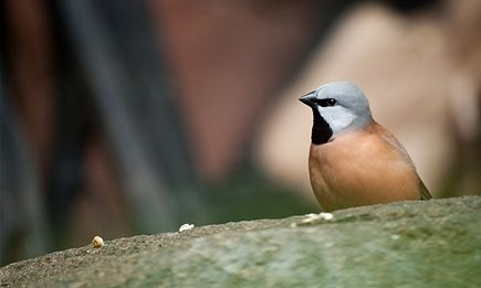 The endangered black-throated finch. Photograph: ABC
