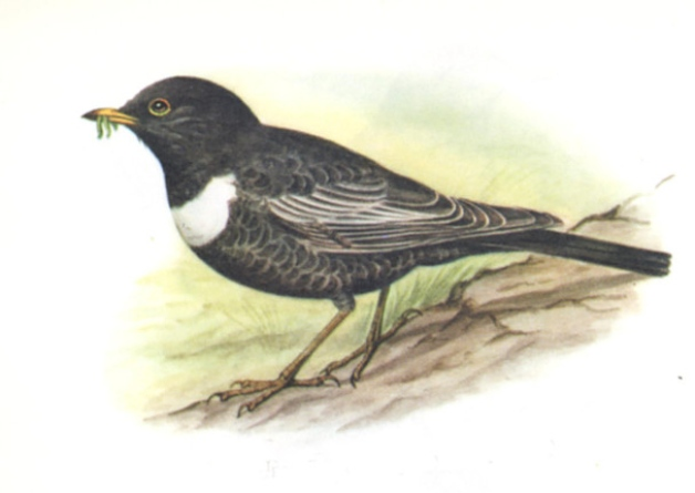 Ring Ouzel (turdus torquatus) female. Picture: Contributed