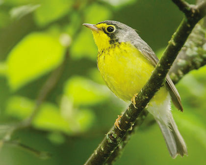 The Canada warbler is on the endangered species list. (QMI Agency file photo)