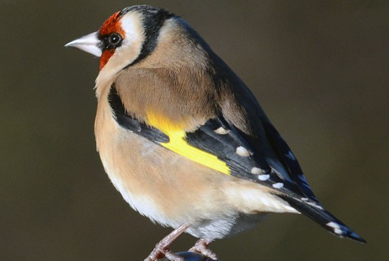 Goldfinches, blue tits and sparrows have fared well, according to the RSPB's Big Garden Birdwatch, but other species were missing from gardens in the last weekend of Janurary