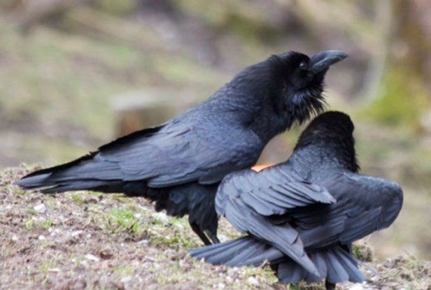 Image Caption: This image shows the interaction of two ravens. Credit: Georgine Szipl