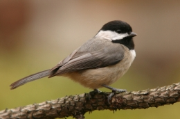 Chickadees are harbingers of a changing climate