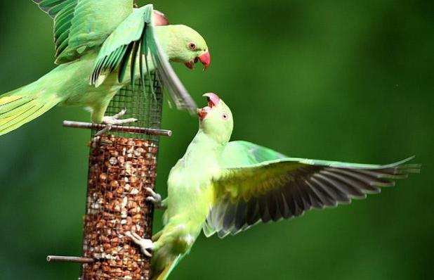 Parakeets feed from a bird feeder in a domestic back garden in Charshalton Beeches in London, England Photo: GETTY