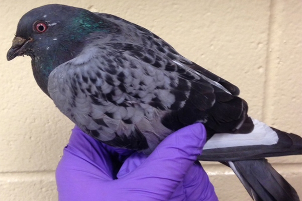 Researchers have found leptin in the rock dove, or pigeon.