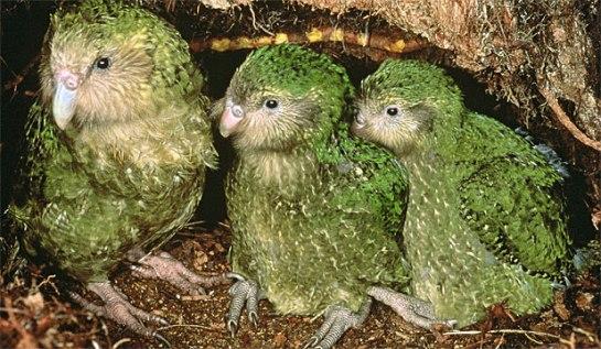 kakapo, Strigops habroptilus