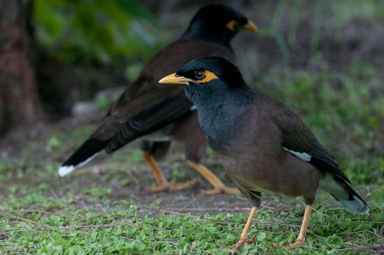 The common myna was introduced to the Cook Islands in the early 1900s to control the coconut stick-insect but soon became a pest itself. May, 2014.