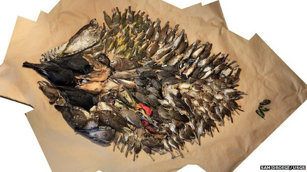 Birds collected by volunteers in Washington DC during 2013