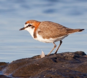 A red-capped plover.Credit: Ben Parkhurst