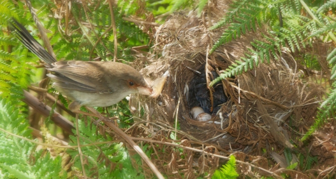 Female fairy wrens sing to their young while they're still nestled inside their eggs. The song teaches the babies a password that they can later use to obtain food.