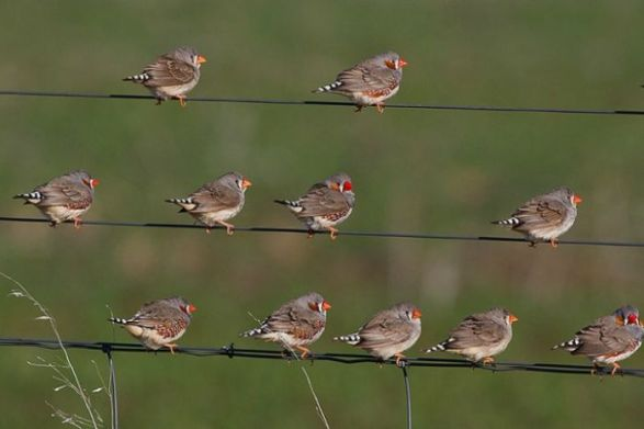 Photo: Birds of a feather flock when together: study shows zebra finches have affairs when caged but are monogamous in the wild. (Image: Flickr Patrick_K59)