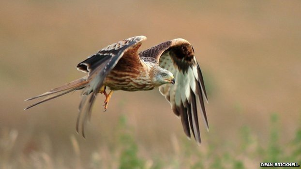 Test show 12 red kites died after eating an illegal poison