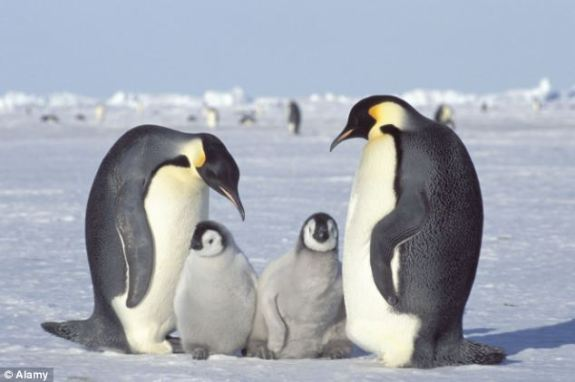 Endangered? Researchers have warned that emperor penguins could face extinction due to melting sea ice
