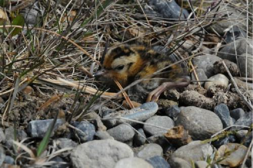 Just hatched Arctic shorebirds, like this long-billed dowitcher above, need to feed on abundant insects to grow and get ready for their southward migration in mid-summer. With earlier and earlier springs, shorebirds and other Arctic birds are challenged to adjust the timing of their breeding to insure that young have abundant resources. Credit: Steve Zack