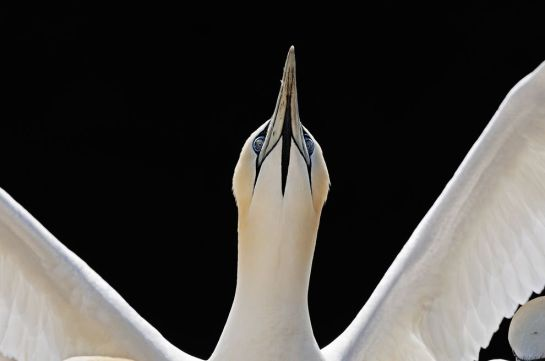 A northern gannet points toward the sky before taking flight in Scotland's Shetland Islands. PHOTOGRAPH BY ANDREW PARKINSON, NATIONAL GEOGRAPHIC CREATIVE