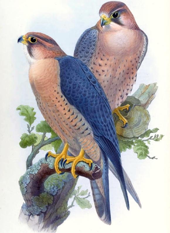 Falco peregrinus babylonicus. Image credit: John Gould, Birds of Asia, vol. 1, pl. 4.