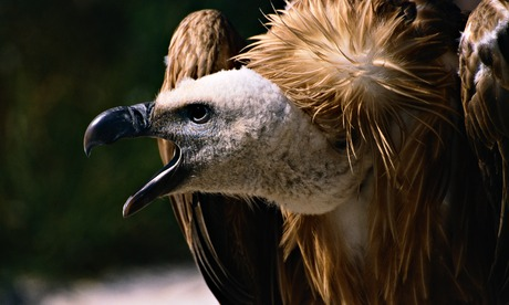 A Spanish griffon vulture. Vultures in Europe could be under threat from approval of the use of the drug diclofenac in Italy and Spain. Photograph: Chris Hellier/CORBIS