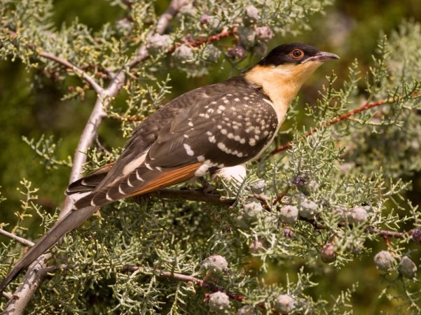Great Spotted Cuckoo ( Marion Vollborn/ BIA/Minden Pictures/Corbis)