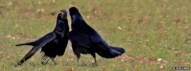 Rooks are highly sociable birds and are often seen in large groups