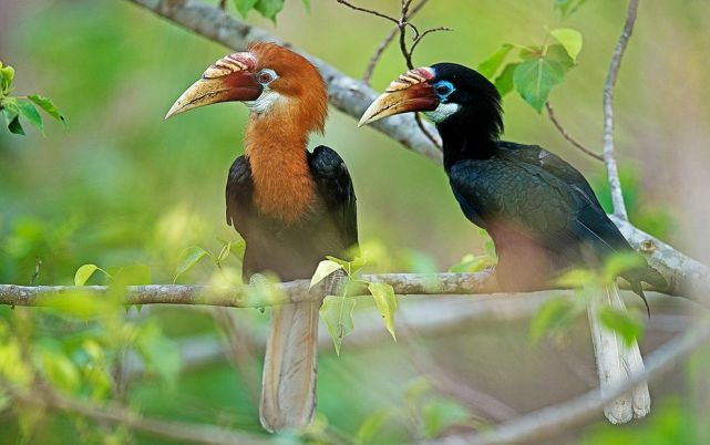 Breeding Narcondam hornbills, like this pair, have recently made up less than 10 percent of the species' population.