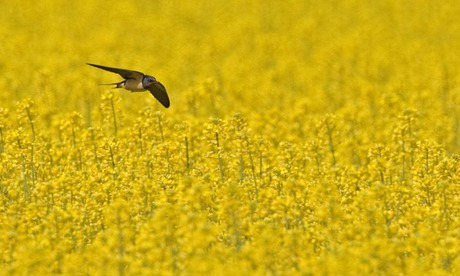 A barn swallow hunting over a flowering oilseed rape field, Spain. Photograph: Alamy