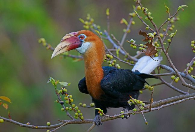 There are just 350 to 400 Narcondam hornbills left, in a range of under 2.7 square miles (7 square kilometers).