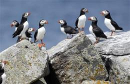Scientists ask bird oglers to help studypuffins