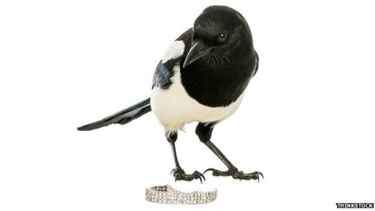 Magpies do not steal trinkets and are positively scared of shiny objects, according to new research