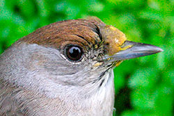 Female blackcap with pollen around beak.