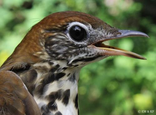 A close-up of a wood thrush. Credit: Kevin Fraser