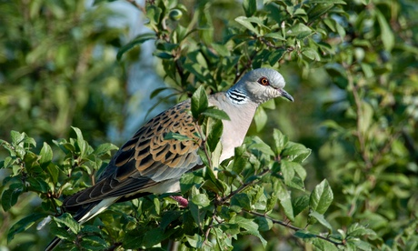 The turtle dove could be extinct in the UK within a decade. Photograph: Alamy