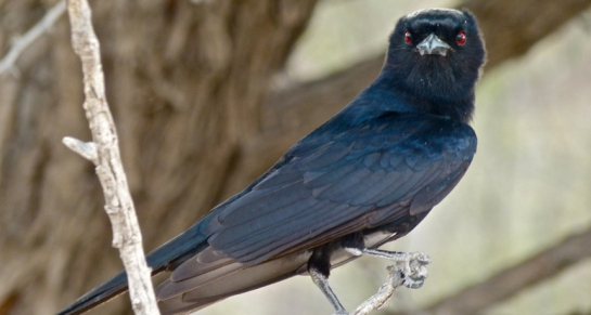 The fork-tailed drongo steals many of its meals by deception, scaring away other birds and animals by imitating alarm calls. But some of those warnings are real, and at least one bird species, the sociable weaver, pays attention.