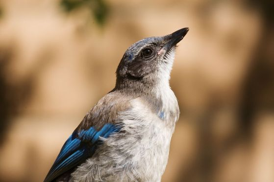 Researchers at the University of Memphis have documented hormonal changes in western scrub-jays that could interfere with reproduction.