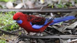 Crimson rosella uses beak to sniff fellow birds and potential mates, Deakin research finds