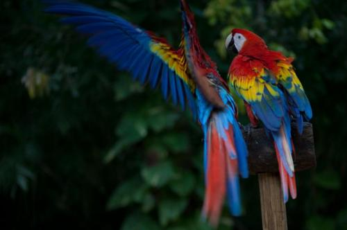 Scarlet Macaws are native to Central and northern South America. Various bird sanctuaries exist in Belize, such as the Crooked Tree Wildlife Sanctuary. Credit: Wikipedia/CC BY-SA 2.0