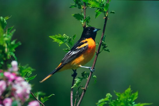 A Baltimore oriole perches near apple blossoms in Mendota Heights, Minn.
