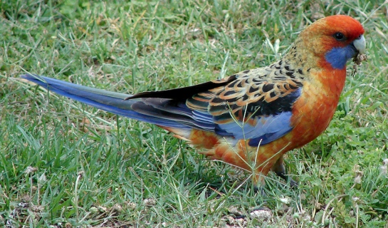 The western slopes hybrid rosella - a blend of the crimson rosella and the yellow rosella. Image Credit: Courtesy R. Ribot and M. Berg