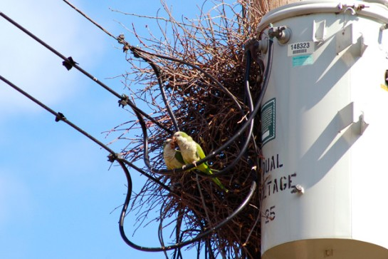 A pair of Monk Parakeets sitting on a powerline just outside their nest in Stratford, Conn. The nests can weigh up to 200 pounds or more. (Kevin Burgio '10 (CLAS)/UConn Photo)