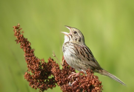 A Henslow's sparrow, a bird the Wisconsin DNR includes among its Species of Greatest Conservation Need, perches atop a plant. A new study shows that grasslands support more than three times as many bird species as cornfields.