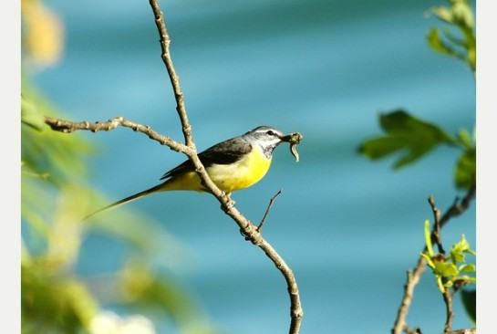 Numbers of yellow wagtails, a farmland generalist, have fallen by 65 per cent since 1970
