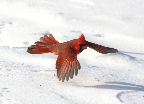 "A northern cardinal glides above a snowy landscape. ""Birds have always been very good indicators of environmental change,"" says UW-Madison wildlife biologist Benjamin Zuckerberg.    Photo: John Capella/Cornell Lab of Ornithology"