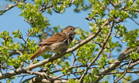 Over half of the UK's summer migrant birds, such as the nightingale, show long-term population decline. Photograph: Alamy