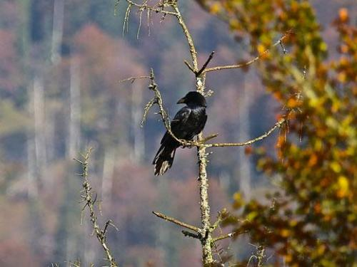 "Cognitive biologists now revealed that ravens use a ""divide and rule"" strategy in dealing with the bonds of conspecifics. Credit: Jorg Massen"