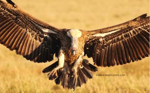 We might have to get very creative in our conservation approaches if we are to boost declining numbers of vultures, zoologists say.