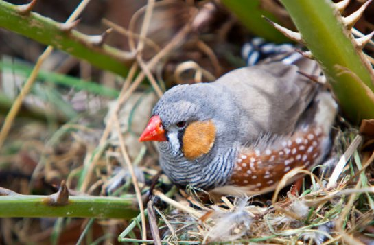 Scientists in the U.K. observed zebra finches making nest-building choices that took into account how well the color of materials would camouflage their homes.