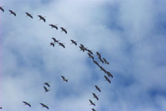 Common Cranes, such as these birds migrating north over Spain, may be more robustly protected after this week's international agreements. Photo: Antonio (commons.wikimedia.org).