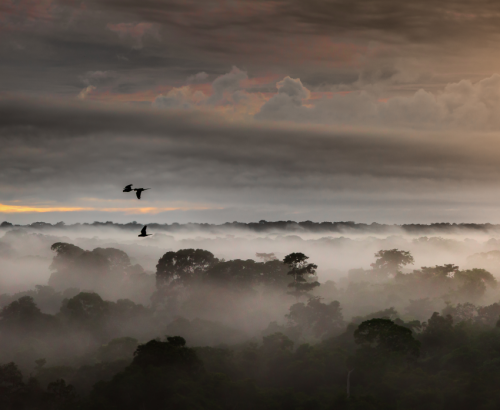 Macaws flying over the rainforest canopy at dawn. The study found that bird lineages that inhabit the forest canopy, such as these macaws, accumulate fewer species over evolutionary time than do bird lineages that inhabit the forest understory. Credit: Mike Hankey.