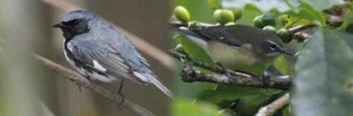 Male black-throated blue warblers (left) differ greatly in coloration from females (right). The opsin Sws2 appears to play a role in the evolution of these differences. Credit: Mdf, DickDaniels, Wikimedia Commons